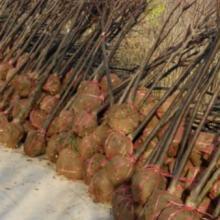 供应两公分红叶李陕西最新价格  红叶李批发  红叶李哪里最便宜