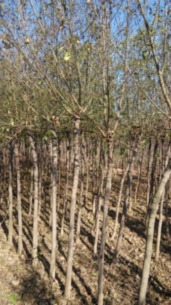 供应最便宜的丝棉苗批发价格