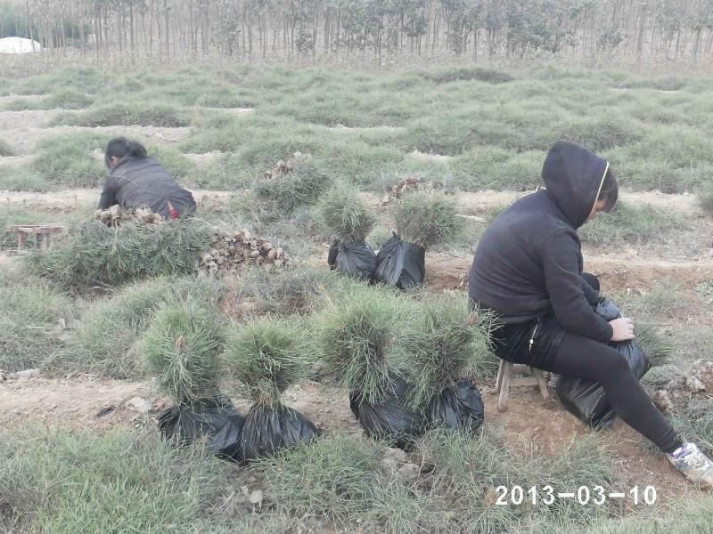 供应陕西油松小苗基地供应商批发价格