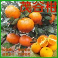 茂谷柑图片