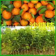 广西沃柑苗图片