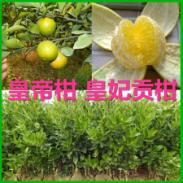 皇帝柑苗图片