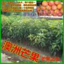 供应广西最大的澳洲芒果苗批发市场