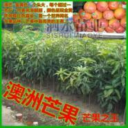 广西最大的澳洲芒果苗批发市场图片