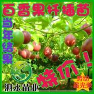 百香果苗图片