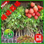 桂味荔枝苗图片
