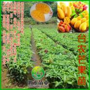 台农芒果图片