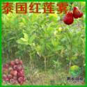 泰国红莲雾图片