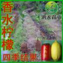 供应广西香水柠檬苗/灵山香水柠檬苗/台湾香水柠檬/四季结果品种