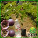 供应百色百香果苗 百色百香果苗优质种植 百色百香果苗报价