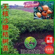 供应皇帝柑树苗 中华名果 皮薄核少、肉脆化渣