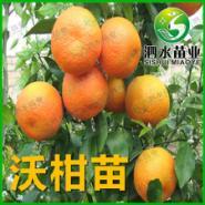 沃柑苗图片