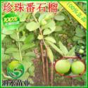 广西最大的番石榴果苗种植园图片
