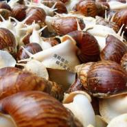 鲜活白玉蜗牛商品蜗牛食用蜗牛图片