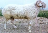 供应小尾寒羊养殖管理,小尾寒羊养殖,山东小尾寒羊养殖批发