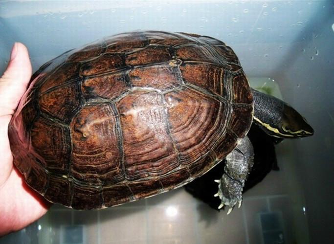 养殖场批发活鲜水产龟鳖安南龟图片