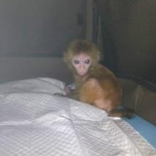 供应养殖场批发特种珍禽宠物袖珍石猴