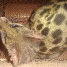 供应全国批发特种养殖动物斑林狸苗