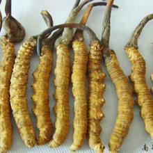 供应惠州冬虫夏草,惠州冬虫夏草回收,惠州冬虫夏草商行