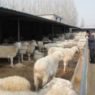 小尾寒羊产地东北小尾寒羊价格图片