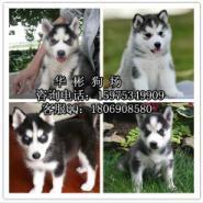 广州哪里有卖哈士奇小狗图片
