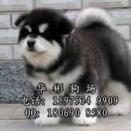 广州哪里有雪橇犬专卖场图片