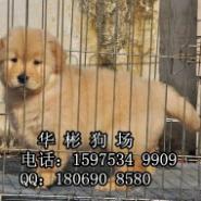 广州哪里有卖金毛图片