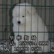 广州哪里有卖萨摩耶小狗图片