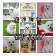 广州买比熊狗狗23图片
