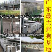 广州哪里有卖松狮犬图片