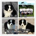 广州哪里有卖边境牧羊犬 边牧犬什么价格 边牧犬图片 纯种边牧犬 边牧