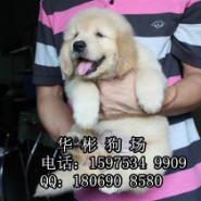 广州哪里有卖高智商金毛犬图片