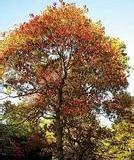 供应五角枫种子种苗多少钱一斤