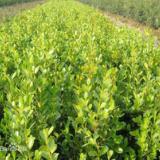 供应黄杨种子种苗