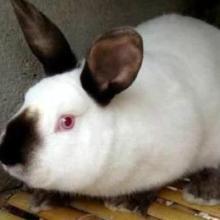 加利福尼亚兔