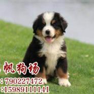 广州哪里有卖伯恩山犬图片