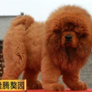 纯种犬繁殖基地售藏獒幼犬纯种健康图片