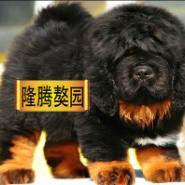 出售精品大狮头藏獒幼犬图片