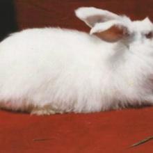 供应皖系长毛兔