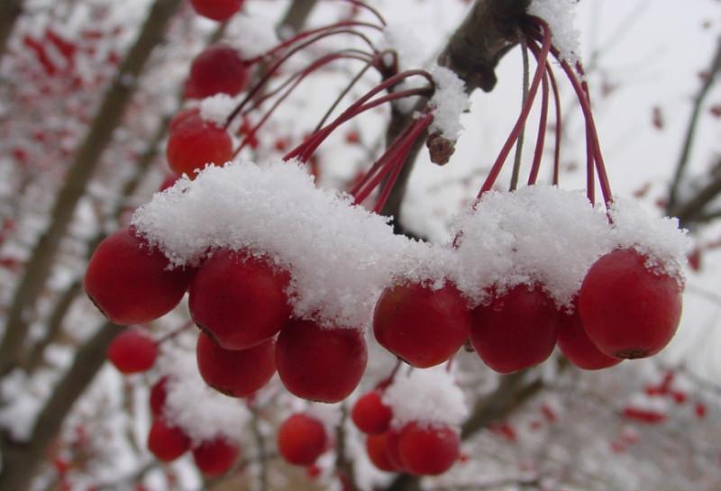 冬红海棠苗