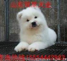 供应河北萨摩耶犬价格多少钱图片