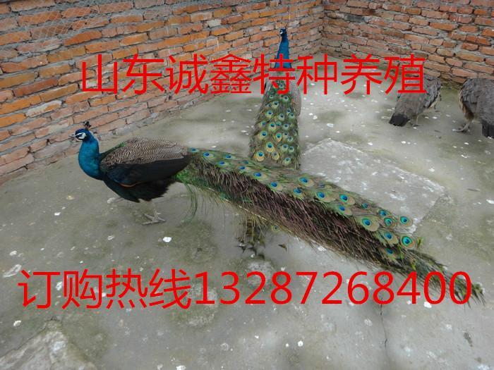 供应哪里有卖孔雀,山东诚鑫孔雀养殖,供应好的孔雀品种
