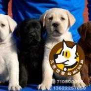 广州狗场出售导盲犬拉布拉多幼犬图片