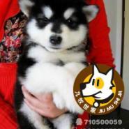 广州狗场直销纯血统保健康阿拉斯加图片