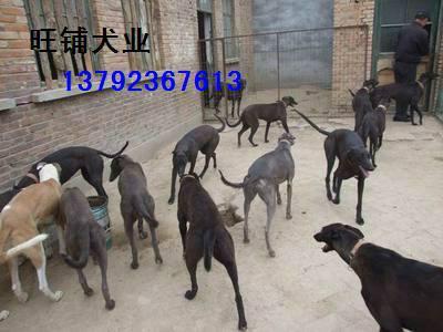 格力犬 格力 供应/供应格力犬格力犬价格格力犬出售图片