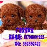 纯种韩系茶杯泰迪犬玩具泰迪图片