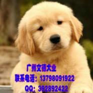 纯种导盲犬金毛出售图片