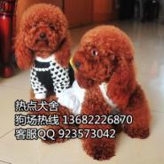 佛山哪里有卖小体泰迪熊犬图片