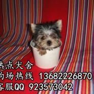 广州有约克夏出售吗图片