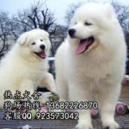 广州什么地方狗场买萨摩耶犬好图片